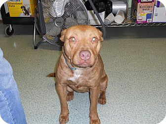 Pit Bull Terrier Mix Dog for adoption in Seattle, Washington - Little Faith