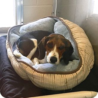 Beagle Mix Dog for adoption in Wilmington, Delaware - Ghost