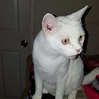 Snowshoe Cat for adoption in Sunny Isles Beach, Florida - Snowball