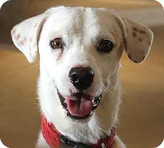 Spaniel (Unknown Type)/Labrador Retriever Mix Dog for adoption in Dallas, Texas - Grimley