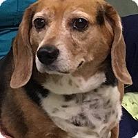 Adopt A Pet :: Sadie - Smithfield, NC