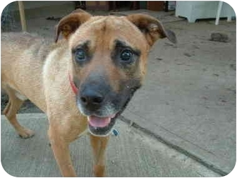 Shepherd (Unknown Type) Mix Dog for adoption in Wilmington, Massachusetts - Frankie
