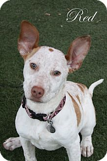 Cattle Dog/Pit Bull Terrier Mix Puppy for adoption in Rockwall, Texas - Red