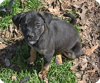 Shepherd (Unknown Type) Mix Puppy for adoption in kennebunkport, Maine - Tia - PENDING, in Maine