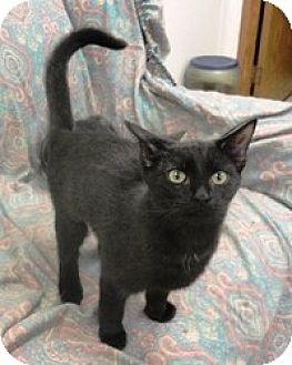 Domestic Shorthair Cat for adoption in Stuart, Virginia - Chanel