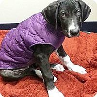 Adopt A Pet :: Wonder Woman - Broomfield, CO