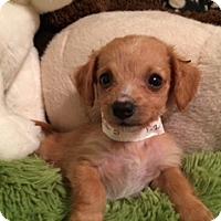 Adopt A Pet :: ASPEN - Higley, AZ