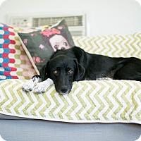 Adopt A Pet :: Evie needs a home with a dog - Los Angeles, CA