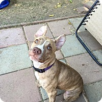 Adopt A Pet :: Cleo, sweet and playful pup - Sacramento, CA