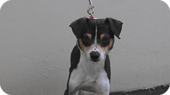 Rat Terrier/Fox Terrier (Toy) Mix Dog for adoption in Huntington Beach, California - Telly