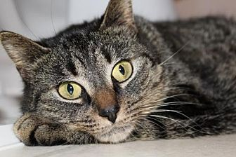 Domestic Shorthair Cat for adoption in Greensboro, North Carolina - Larisa
