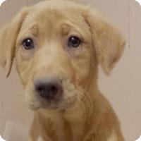 Adopt A Pet :: Butterscotch AD 07-02-16 - Preston, CT