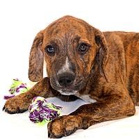 Adopt A Pet :: Bobbi Ray~ meet me! - Glastonbury, CT