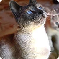 Adopt A Pet :: Coco - Stanford, CA
