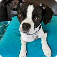 Adopt A Pet :: Charlee - San Diego, CA