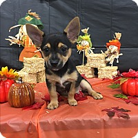 Blue Heeler/Terrier (Unknown Type, Small) Mix Puppy for adoption in Burlington, Vermont - A - PUPPY - 1 Left