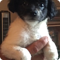 Rat Terrier/Schnauzer (Miniature) Mix Puppy for adoption in Lancaster, Kentucky - Bubbles