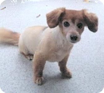 Dachshund/Papillon Mix Dog for adoption in Surrey, British Columbia - Cleo