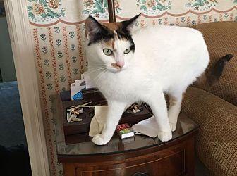 Calico Cat for adoption in Berkeley, California - Pearl