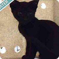 Adopt A Pet :: VINNY - Brooklyn, NY