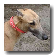 Greyhound Dog for adoption in Roanoke, Virginia - Oswald