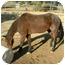 Photo 1 - Quarterhorse Mix for adoption in West Los Angeles, California - Kona
