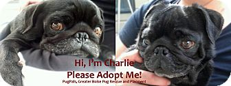 Pug Dog for adoption in Eagle, Idaho - Charlie