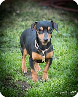 Dachshund Mix Puppy for adoption in San Jose, California - Nia