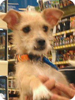 Terrier (Unknown Type, Small) Mix Dog for adoption in Phoenix, Arizona - Tiffany Rex