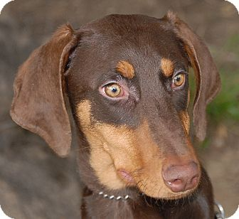 Doberman Pinscher Puppy for adoption in Sun Valley, California - Ruby