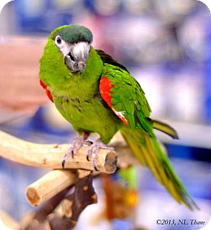 Macaw for adoption in Shawnee Mission, Kansas - Oliver