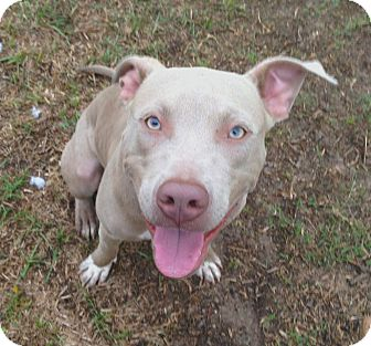 Pit Bull Terrier/American Pit Bull Terrier Mix Puppy for adoption in Houston, Texas - Opie