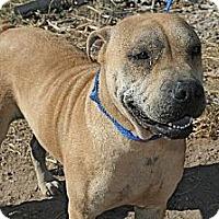 Shar Pei Mix Dog for adoption in Tonopah, Arizona - Saddel