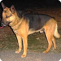 German Shepherd Dog/Australian Cattle Dog Mix Dog for adoption in SAN ANTONIO, Texas - TONKA