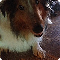 Adopt A Pet :: Lassie  in CT - Manchester, CT