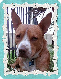 Basenji/Pit Bull Terrier Mix Dog for adoption in Phoenix, Arizona ...