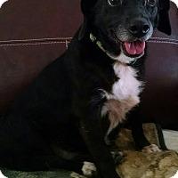 Adopt A Pet :: Bendi Sue - Richmond, VA
