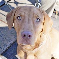Adopt A Pet :: Duke  **ADOPTION PENDING** - Fairfax, VA