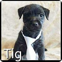 Adopt A Pet :: Tigg - Rancho Cucamonga, CA