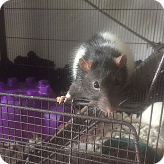 Rat for adoption in Rochester, New York - Rudy