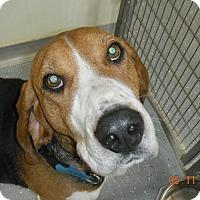 Adopt A Pet :: AUGGIE - Sandusky, OH
