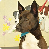 Akita/Labrador Retriever Mix Dog for adoption in Erwin, Tennessee - Miller