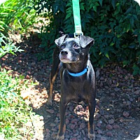 Adopt A Pet :: Brody - Yuba City, CA