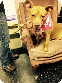 American Staffordshire Terrier/American Pit Bull Terrier Mix Dog for adoption in East McKeesport, Pennsylvania - Red