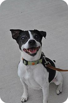 Boston Terrier/Jack Russell Terrier Mix Dog for adoption in Madison, Alabama - Buggy