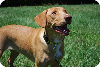 Labrador Retriever/German Shepherd Dog Mix Puppy for adoption in Richmond, Virginia - Curry