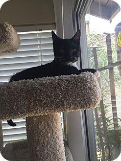 Domestic Shorthair Kitten for adoption in Orange, California - Charlie