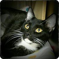 Adopt A Pet :: Snow White - Pueblo West, CO