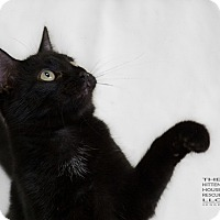Domestic Shorthair Cat for adoption in Houston, Texas - ULREY
