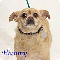 Chihuahua Mix Dog for adoption in Bradenton, Florida - Hammy